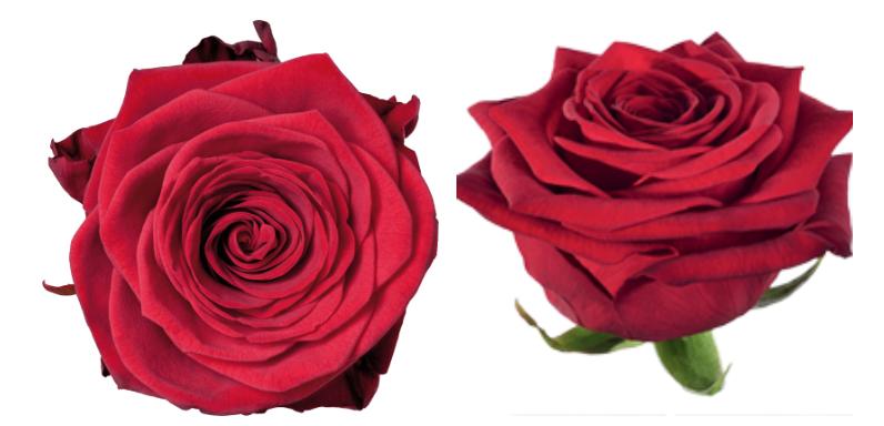 rosas rojas san valentín